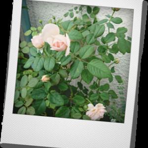 アンブリッジローズ 咲きました