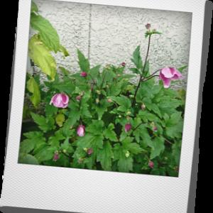 シュウメイギク 秋明菊 咲きました