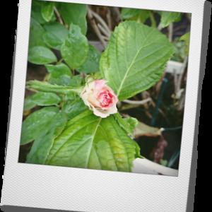 バラ マリアテレジア 咲きました!