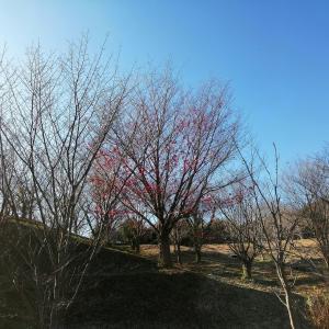 散歩道の冬薔薇と紅葉