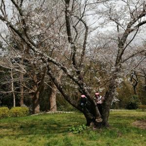 桜三分咲き、、、小高い丘へハイキング