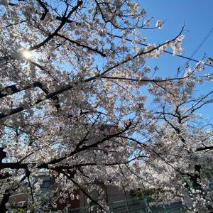 桜の花舞い上がる道を〜♪
