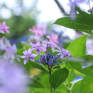 雨の日の紫陽花・2♪