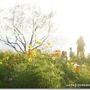 花の丘のコスモス。