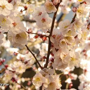 桜じゃなくて梅が満開です