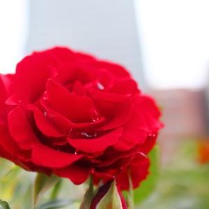 情熱の薔薇☆