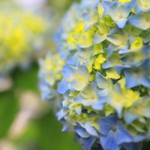 京の紫陽花☆