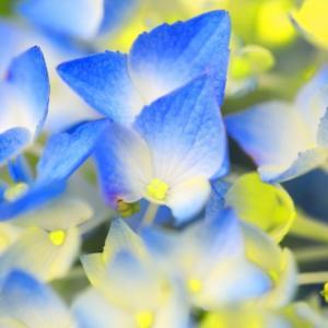 マクロで紫陽花☆