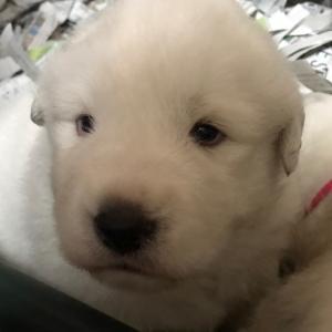 エルサの子犬ちゃん 超絶に可愛いくなって来ました。