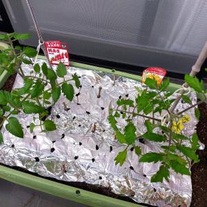 今年のトマトの植え込み(2021年)