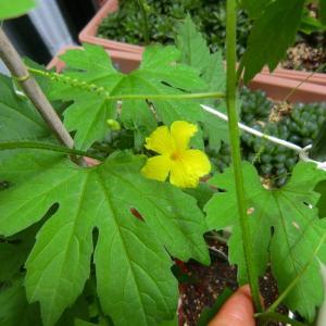 ゴーヤの花が咲いた ☆ 他の植物達