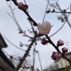 春くることも待たれしか