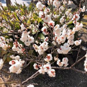 咲き誇れ 梅の花
