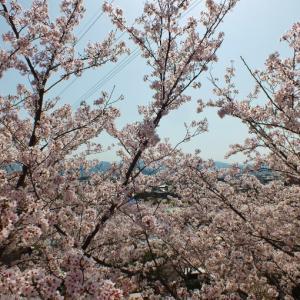 東讃富士・白山と廃墟・日盛山の桜(計12,000本)