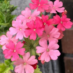 今朝のお花たち