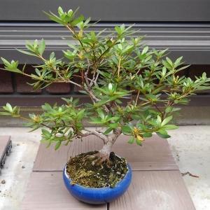 梅雨の合間を縫って、盆栽の植え替え、剪定をしました。