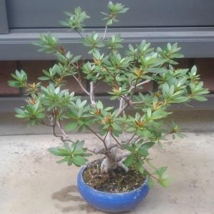 梅雨の内に盆栽の剪定、植え替えです。