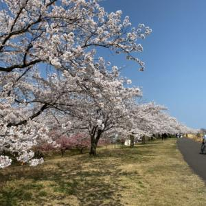 加治川の桜、草荷公園の菜の花、ラ・ジェンマのパスタ