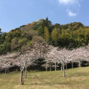 ただいま桜六分咲き***