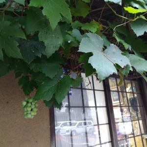 葡萄のある風景が好き