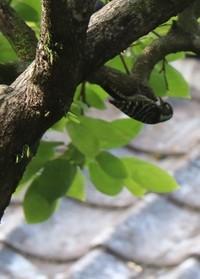 コゲラが 庭の柿の木へ