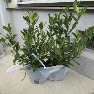 くちなし植樹