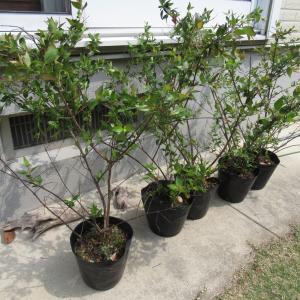 アベリア植樹