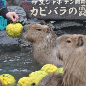 お湯もたまってきたので投入される鬼ゆず~11月23日の変わり湯~_伊豆シャボテン動物公園