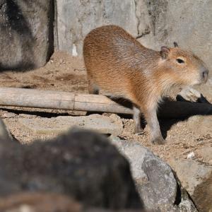 日光浴が済んだのでお散歩です、露天風呂展示場の子カピちゃん編_伊豆シャボテン動物公園