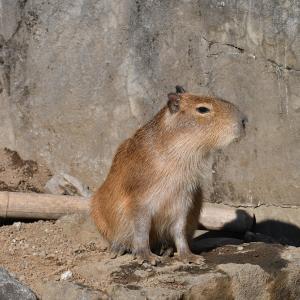 日向ぼっこしてるとのどが渇くのかな、子カピちゃん編_伊豆シャボテン動物公園