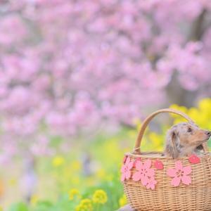 みなみの桜と菜の花まつり・一緒に見れたね