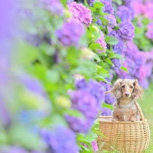 ピンクの紫陽花がいっぱい