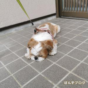 癒し犬、シーズー。