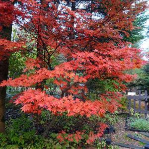 我が家の紅葉も進んでいます