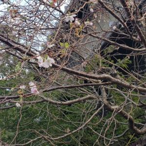 11月の桜だよ~❗