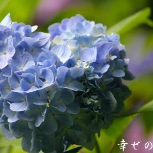 何年も咲かない紫陽花
