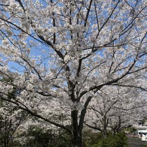 桜の花見ドライブ