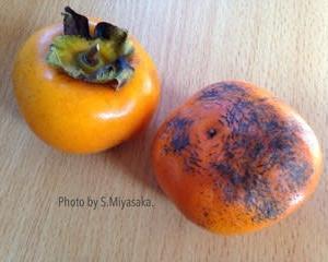 柿の原種のミステリー。