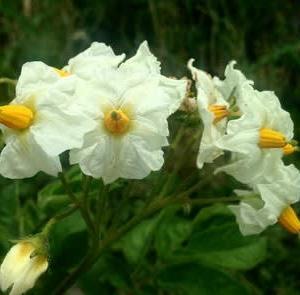 吉野の在来種のジャガイモ2種。