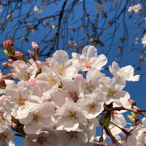2020年新宿御苑の桜(3/22)