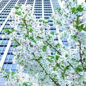 品川シーズンテラスの桜