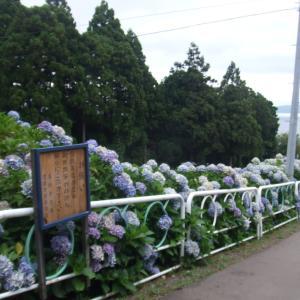 義経寺の紫陽花