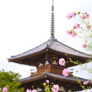 奈良、法起寺周辺のコスモス。