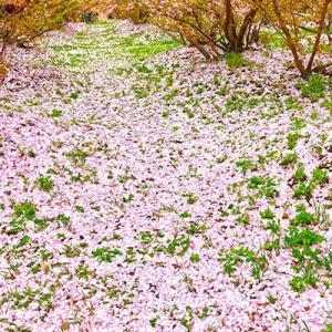 桜の、じゅうたん。