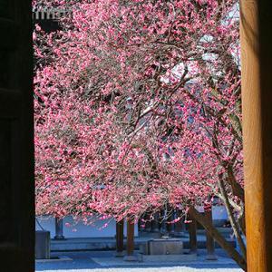 ご無沙汰の「梅の花」