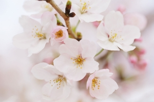 今年の桜の開花は、少し早いかも。桜ロケご希望の方はご予約お早めに。
