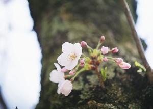明日3/18(水)は通常営業、翌19(木)はお休み / 桜ロケご希望の方はお早めのご予約を。