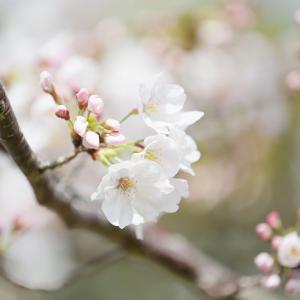 今年は桜の開花が遅いかも。今週末が見頃 ?