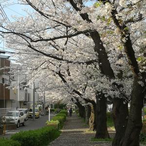 太尾堤緑道の桜