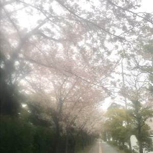 ご近所の桜も綺麗に咲いてます